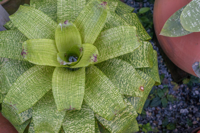 Verde di bromeliaceae fotografia stock