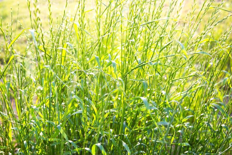 Verde di erba nei raggi dell'ecologia d'abbellimento della natura del tramonto nella città fotografia stock libera da diritti