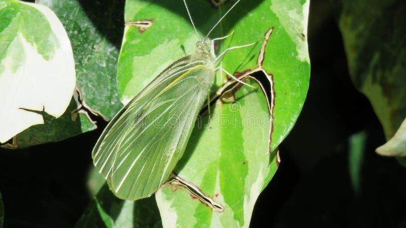 Verde verde di mariposa della farfalla immagini stock