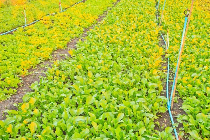 Verde di senape cinese fotografia stock