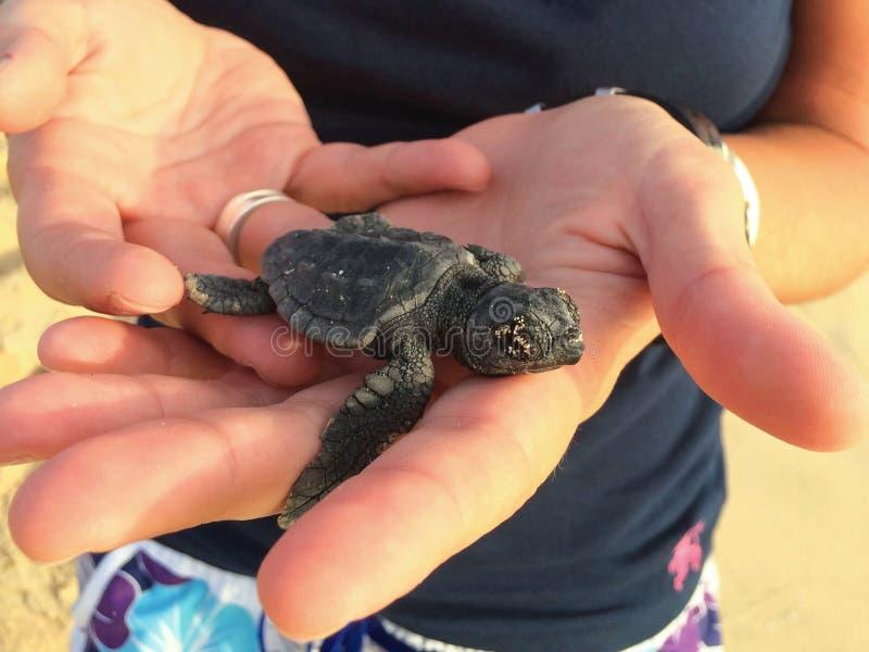 Verde do cabo do filhote da tartaruga do bebê fotografia de stock