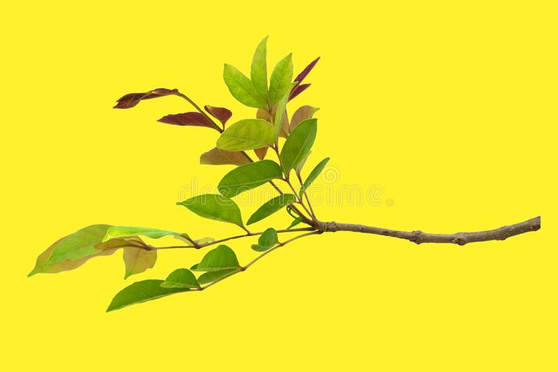 Verde do close up e folha vermelha isolados no fundo amarelo do arquivo com trajeto de grampeamento foto de stock royalty free