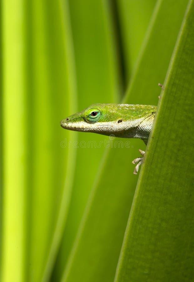 Verde do Gecko imagem de stock royalty free
