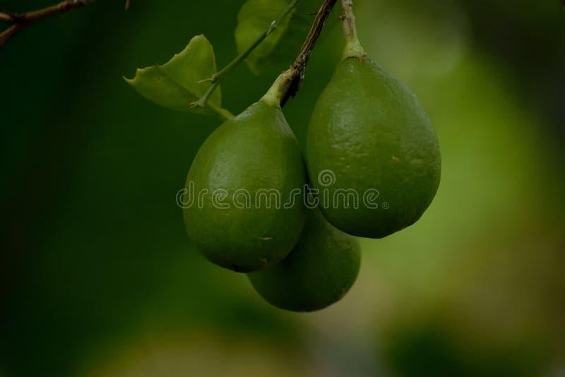 Verde do limão da folha em uma árvore para comer o ácido lático do alimento imagem de stock royalty free