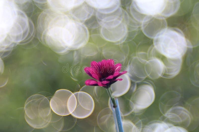 Verde do rosa da flor do Gerbera trioplan foto de stock royalty free