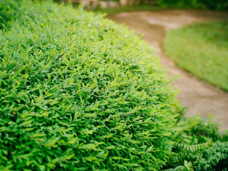 Verde dos arbustos no jardim imagens de stock