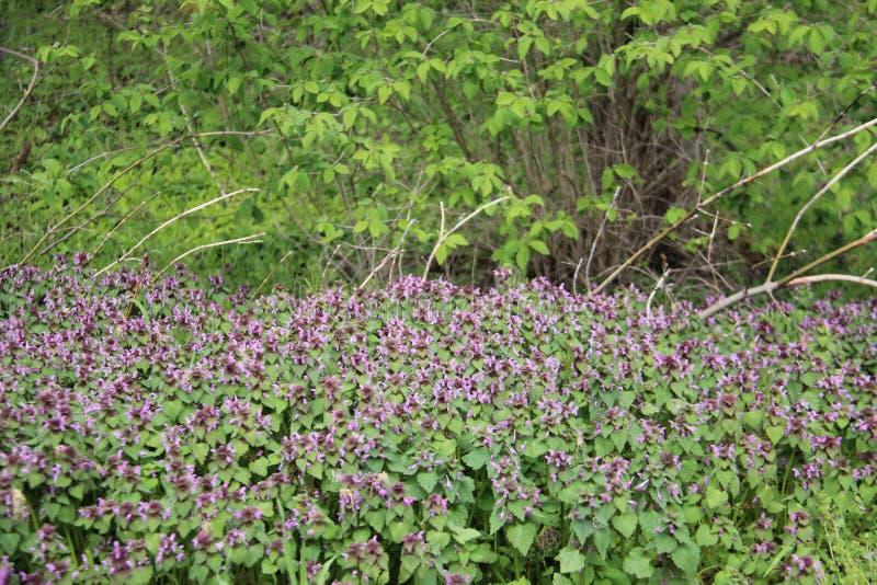 Verde e fresco Flores selvagens de florescência com folhas novas foto de stock royalty free