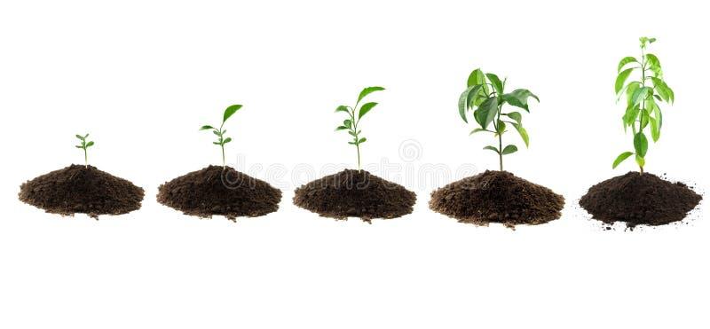 Download Planta o limão foto de stock. Imagem de seedling, novo - 29833220