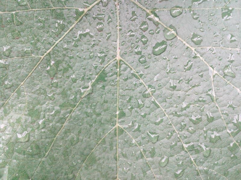Verde, hoja, fondo, lluvia, vid, agua, fresca, mañana, naturaleza, uva, color, extracto, natural, planta, hojas, primavera, blurr fotografía de archivo