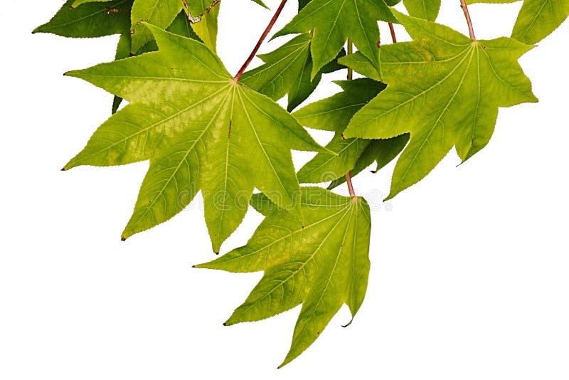 Verde iniziale di autunno alle foglie gialle dell'albero di Acer dell'acero, fondo bianco fotografia stock