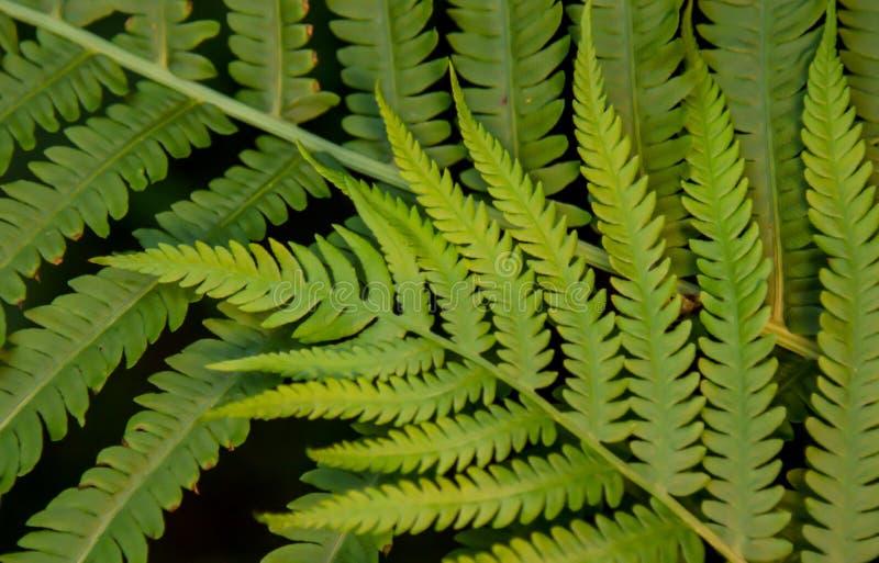 Verde lima Fern Fronds imagen de archivo libre de regalías