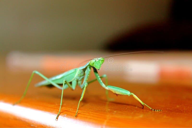 Verde lindo de la mantis religiosa interior foto de archivo
