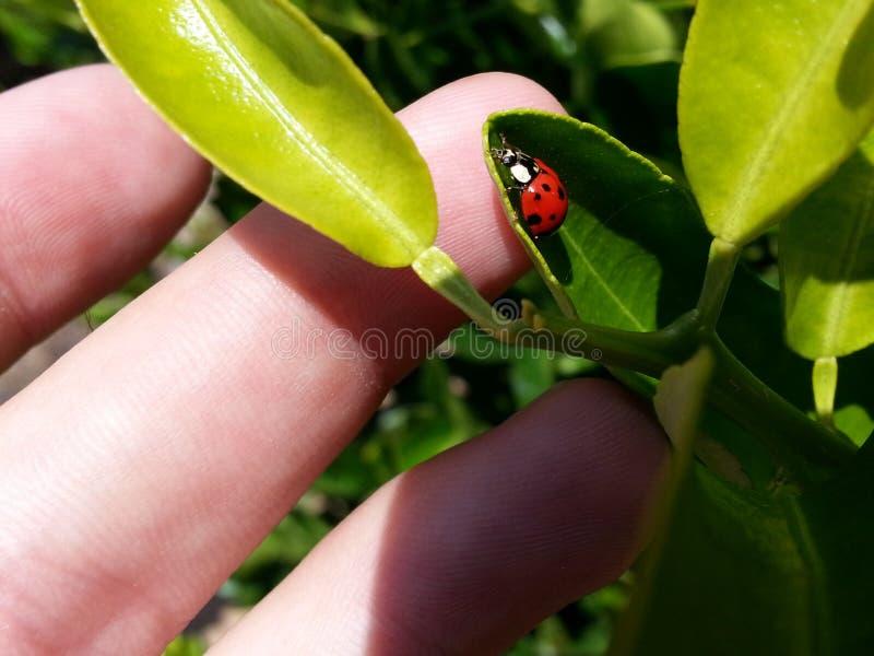 Verde macro das folhas dos folhas do joaninha do joaninha fotos de stock royalty free