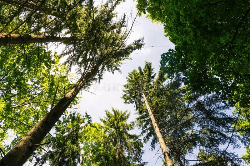 Verde morno Forest Gree interno do dia denso de madeira do céu dos troncos de árvore imagem de stock