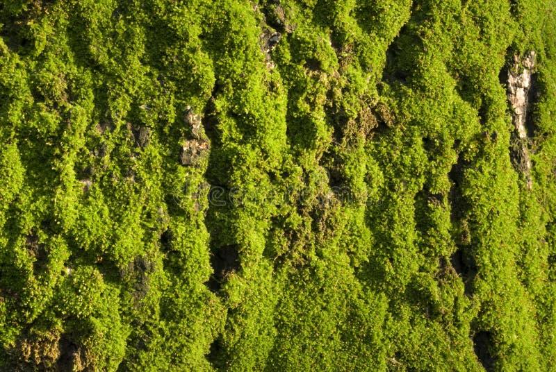 Verde muscoso fotografie stock libere da diritti