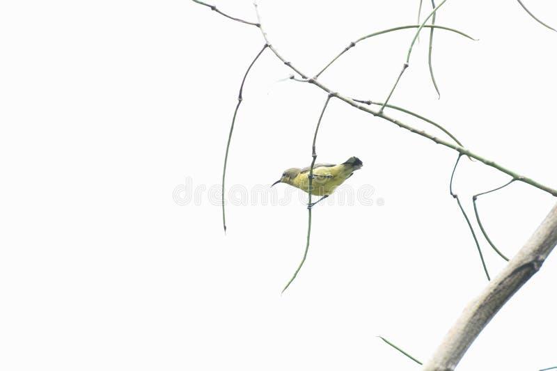 Verde-oliva fêmea - sunbird suportado fotos de stock royalty free
