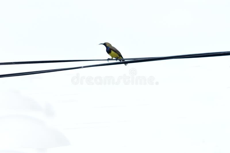 Verde oliva masculino - sunbird apoyado imágenes de archivo libres de regalías