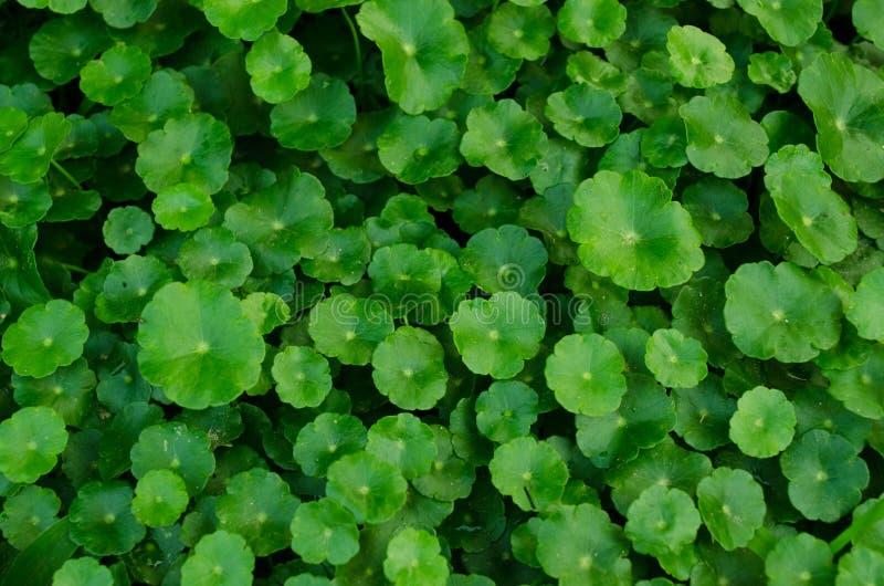 Verde orgánico de las verduras fotografía de archivo libre de regalías