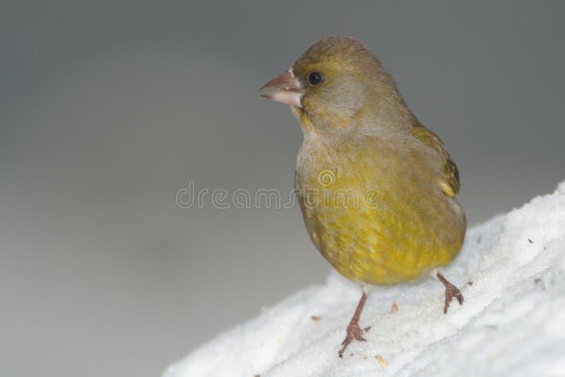 Verde-passarinho na neve imagens de stock royalty free
