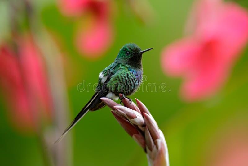 Verde piacevole Thorntail (conversii del colibrì di Discosura) con i fiori rosa e rossi vaghi, La Paz, Costa Rica immagini stock libere da diritti