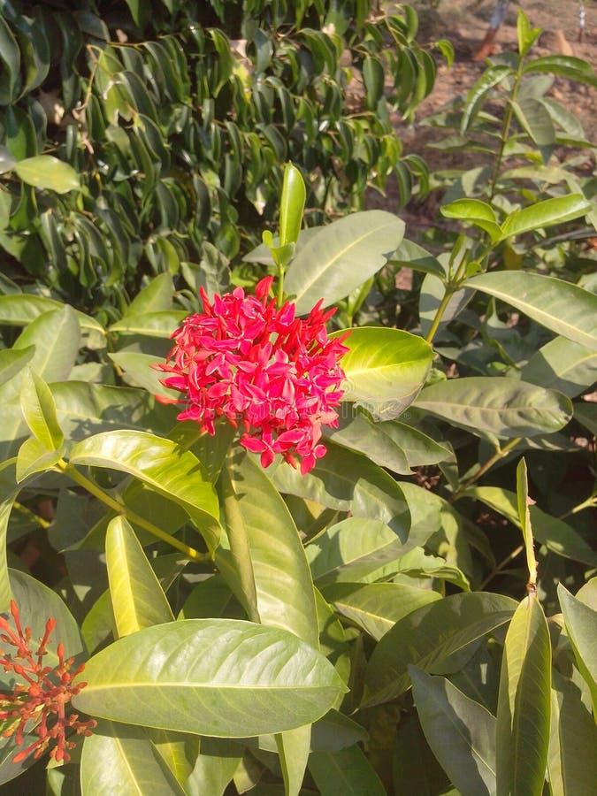 Verde rosado de la flor flowerplant fotos de archivo