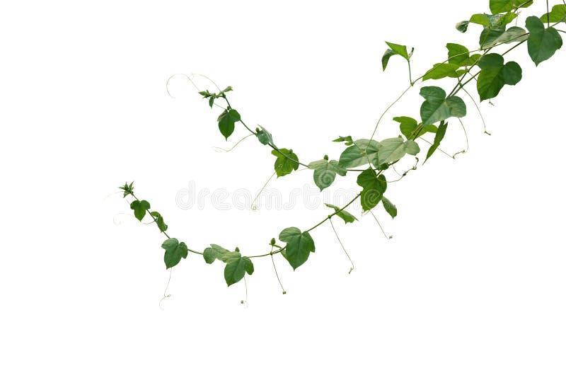 Verde selvagem l do foetida do Passiflora do fruto de paixão do maracuja ou do arbusto imagens de stock