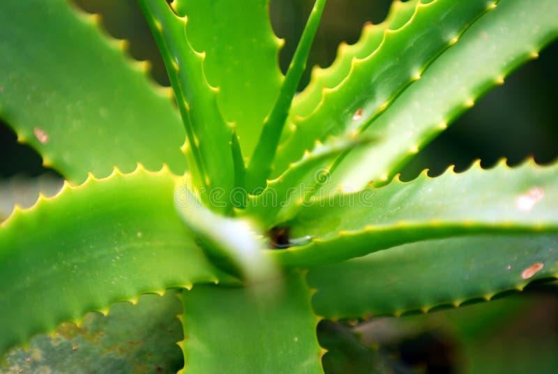 Verde Spiky foto de stock