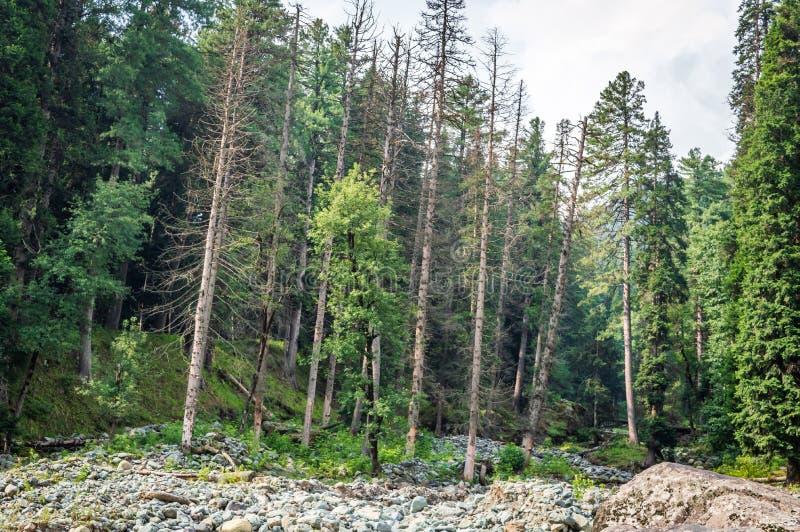 Verdediging van bomen Interferentie van de mens Vernietiging van de natuur Ontbossing van pijnbomen Dode bomen in groene bomen stock fotografie
