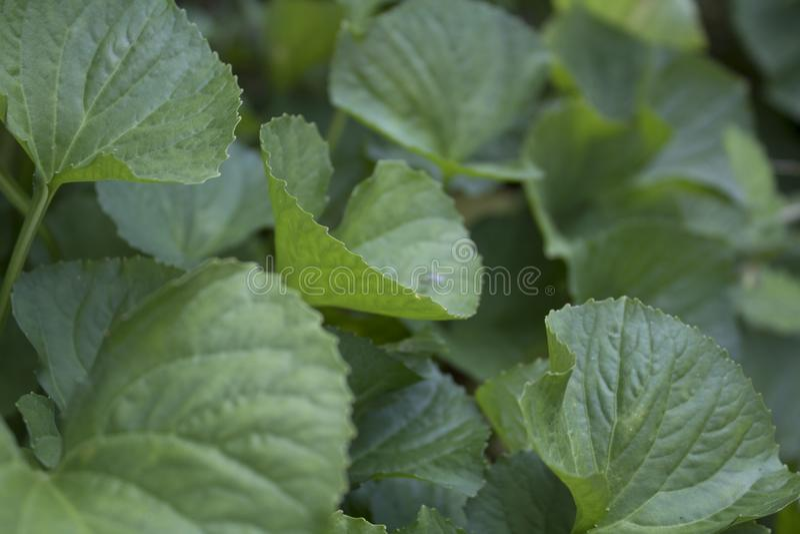 Verdes bonitos torcidos imagens de stock royalty free