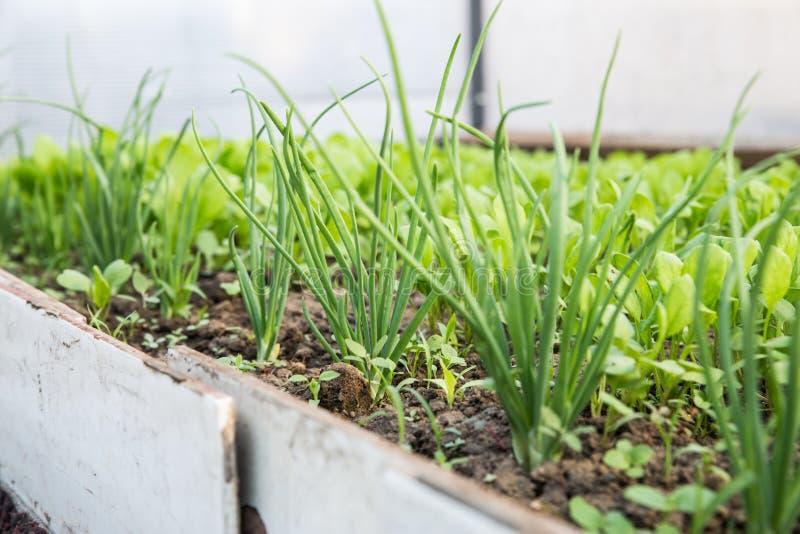Verdes crescentes para a salada A alface, a mostarda, a r?cula e as folhas fresca, nova e macia da cebola crescem no jardim imagem de stock