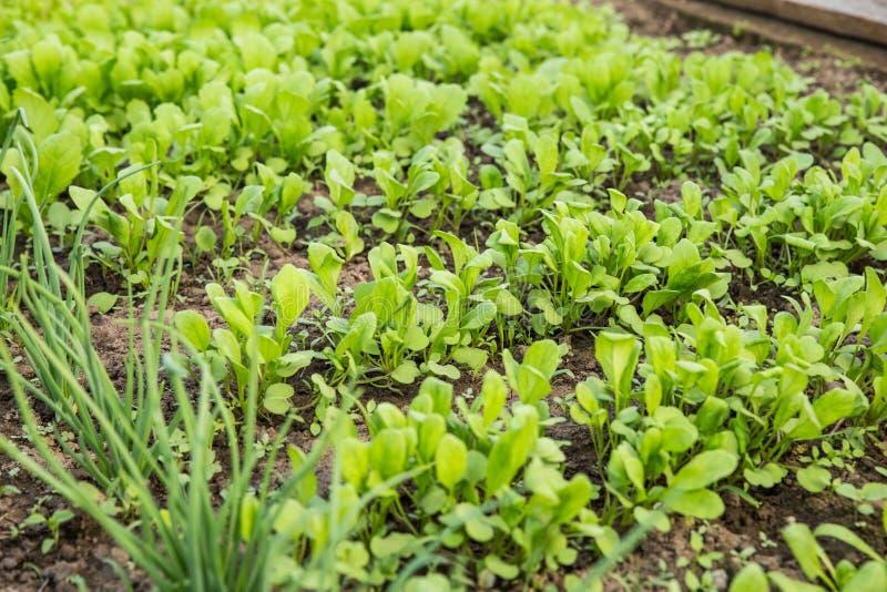 Verdes crescentes para a salada A alface, a mostarda, a r?cula e as folhas fresca, nova e macia da cebola crescem no jardim fotos de stock royalty free