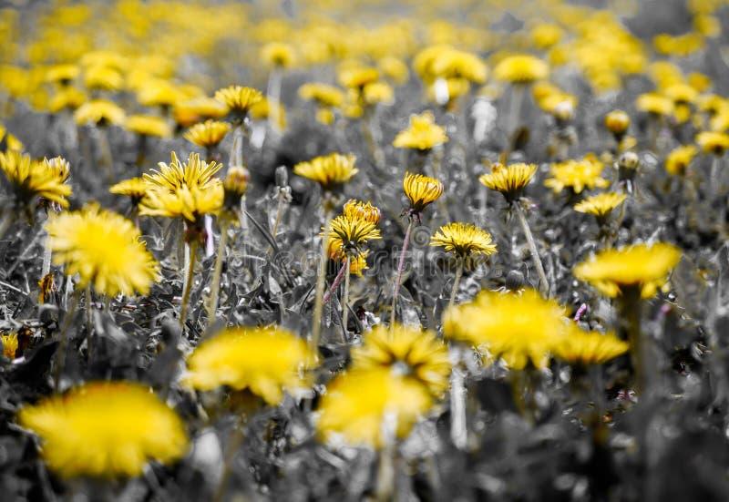 Verdes intencionalmente desaturated, campos do dente-de-leão, profundidade de campo rasa, imagens de stock royalty free