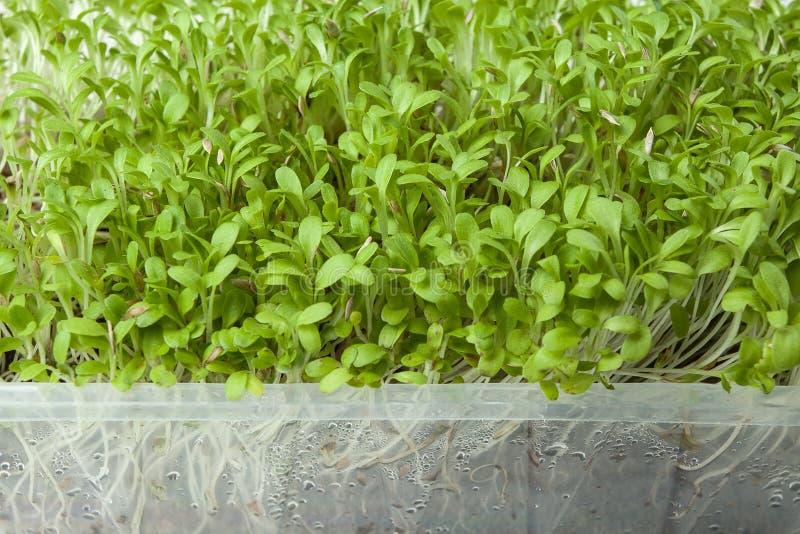 Verdes micro orgánicos frescos para la ensalada en un envase de la tienda foto de archivo libre de regalías