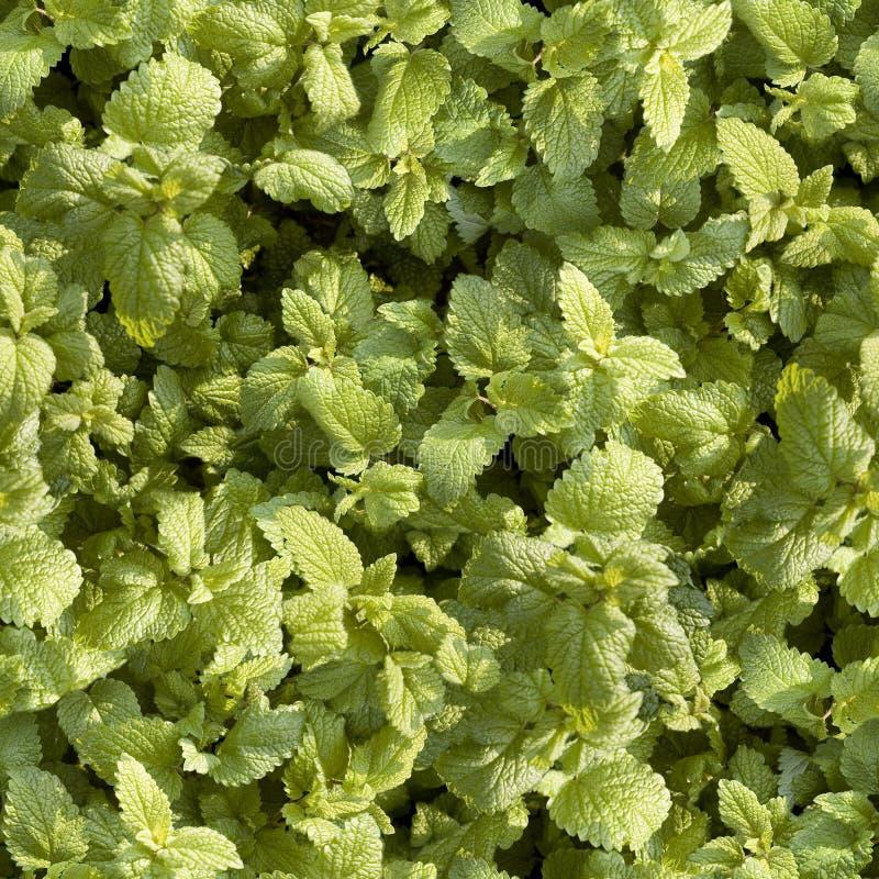 Verdi del foglie di Tappeto immagini stock libere da diritti