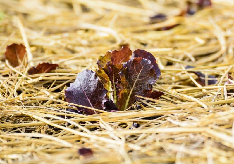 Verdi dell'insalata sviluppati sul giardino fotografie stock