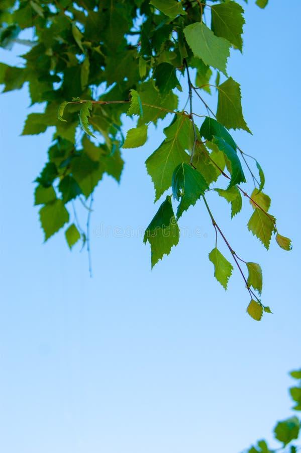 Verdi della primavera - un ramo di giovani foglie di una betulla contro il cielo blu fotografia stock