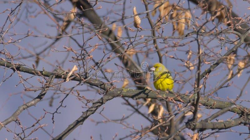 Verdier étendu sur la branche par l'arbre photographie stock libre de droits