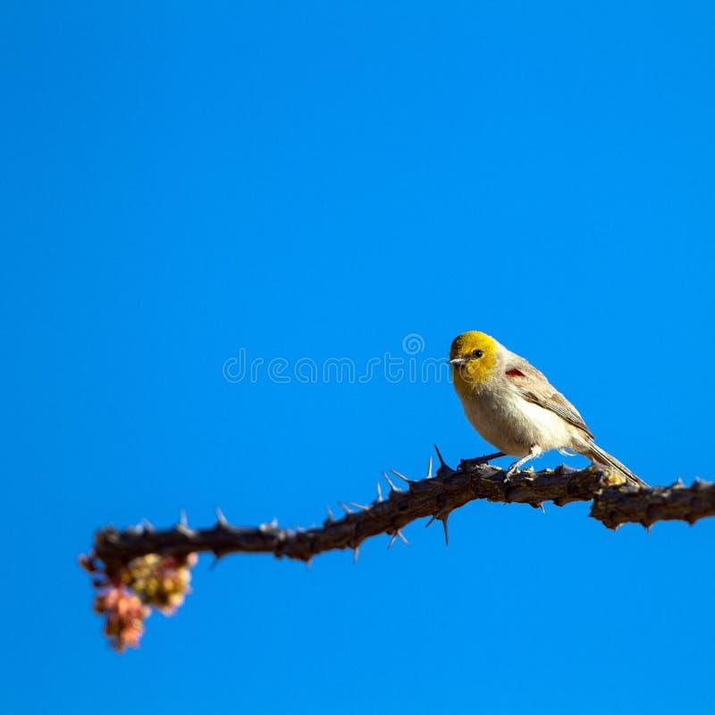 Verdin amarelo-dirigido minúsculo empoleira-se na haste de um cacto do Ocotillo no deserto de Sonoran do Arizona do sul imagens de stock royalty free