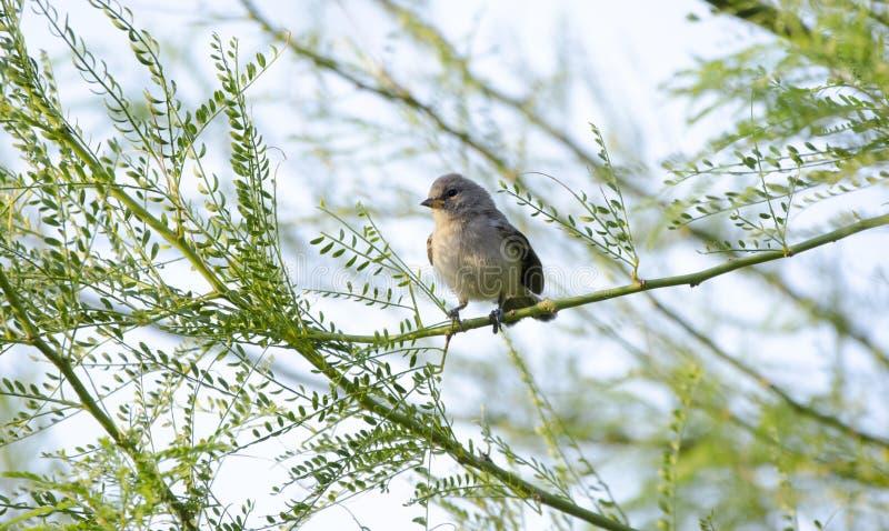 Verdin fågel, Tucson Arizona öken royaltyfri fotografi