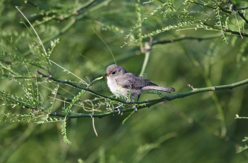 Verdin fågel, Tucson Arizona öken fotografering för bildbyråer