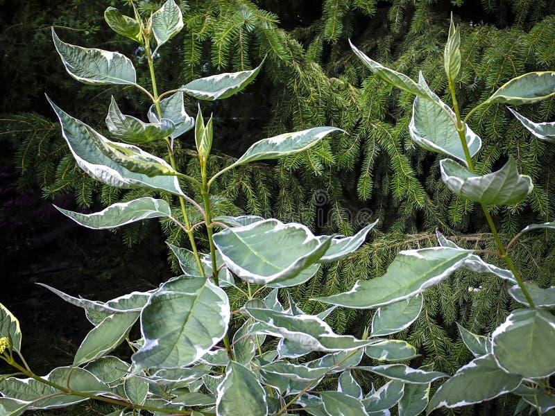 Verdissez avec de belles feuilles de frontière blanche d'ornus Elegantissima alba de ¡ du buisson Ð images stock
