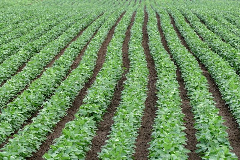 Verdissez le champ cultivé de haricot de soja en début de l'été images stock