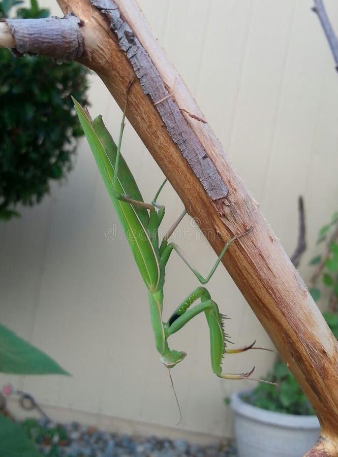 Verdissez le Mantis de prière photo libre de droits