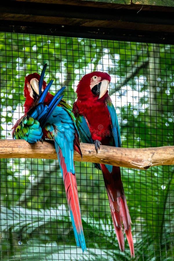 Verdissez les aras à ailes chez Parque DAS Aves - Foz font Iguacu, Parana, Brésil photographie stock libre de droits