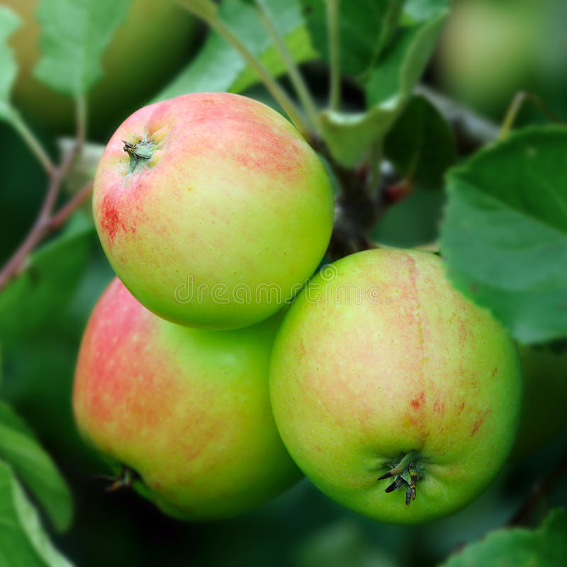 Verdissez les pommes anglaises, avec un rouge rougissent, en mûrissant photographie stock libre de droits