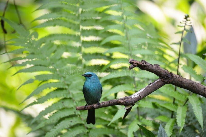 Verditer flugsnappare, lös fågel i Vietnam arkivfoton