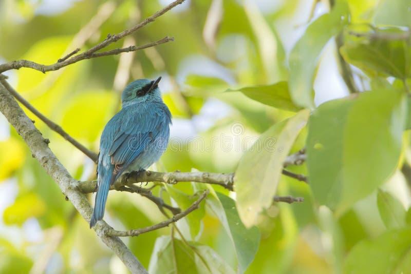 Verditer flycatcherbirdman i Nepal arkivbilder