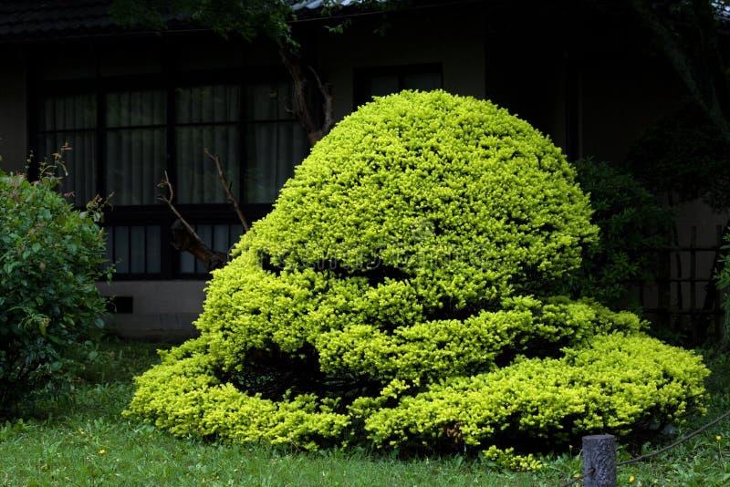 Verdoyant orientale dei bonsai immagine stock
