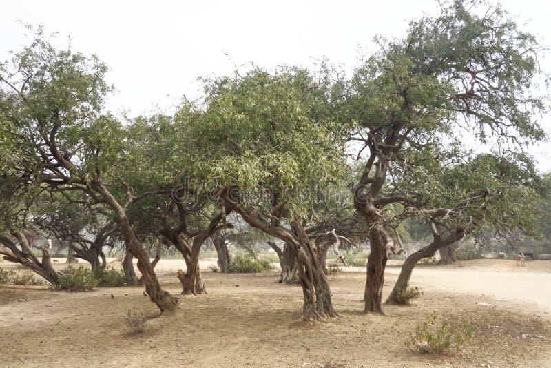 Verdraaid Bosje van Bomen stock foto