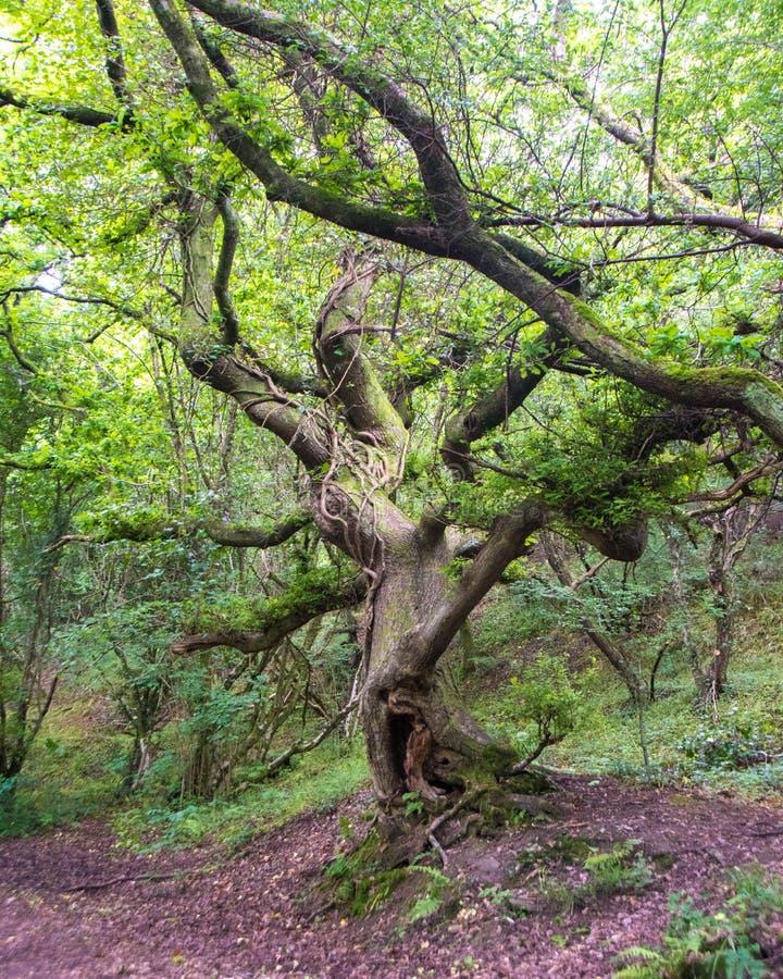 Verdraaide achtervolgde boom stock afbeeldingen